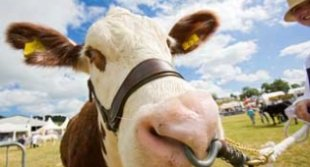 image of a cow at Royal Welsh Show in Builth Wells. This page includes great tourism information including activities, attractions, history and things to do