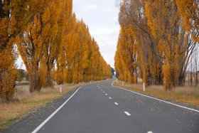 Poplar lined road